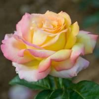 Rosales clásicos