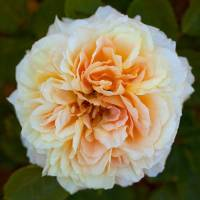 Rosales romántica