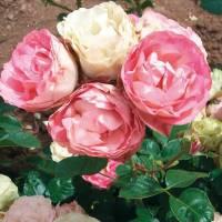 plantas rosales floribunda
