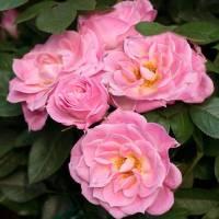 Rosales miniatura