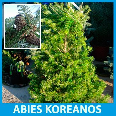Abies koreanos tiene unas piñas moradas muy ornamentales.