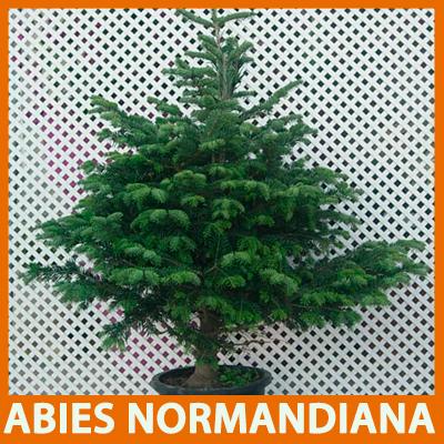 Abies normandiana es uno de los abetos más bonitos y más vendidos en estos momentos.