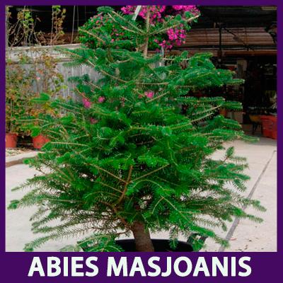 Hace años esta variedad era la más utilizada como el árbol de Navidad.